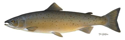 Salmonidae (Salmon, Trout)