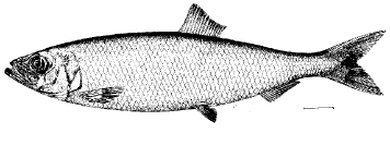 Clupeinae (Herring, Sardine, Sprat)