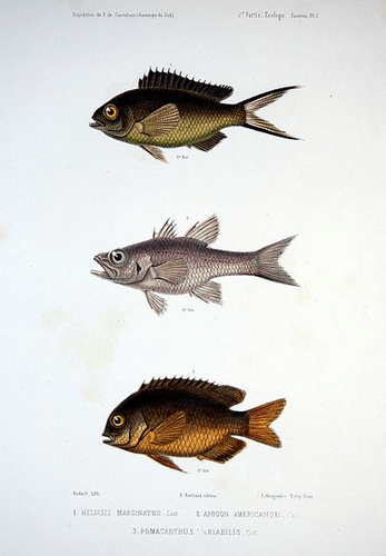 Perciformes (Perch-like Fishes)